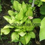 Hosta «Emerald Tiara»